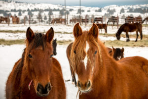 A photo of two horses in a snowy field, looking directly at the camera.