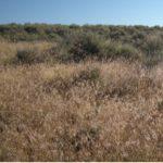 Cheatgrass in the sagebrush steppe