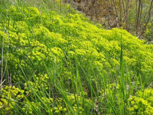 Yellow Cypress spurge