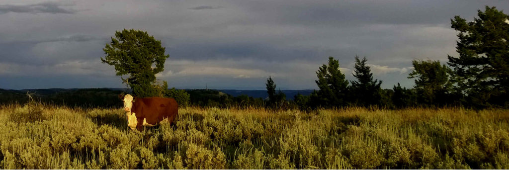 Cow in a field of sagebrush at sunset