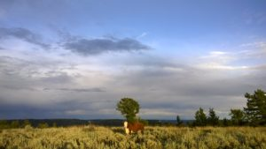 A cow stands in sagebrush.