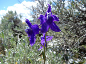 Close up of a purple larkspur plant with sagebrush in the background.