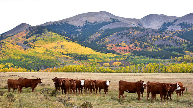Photo by Larry Lamsa. Cows graze in late fall in a Colorado pasture with mountains behind and aspen leaves turning colors