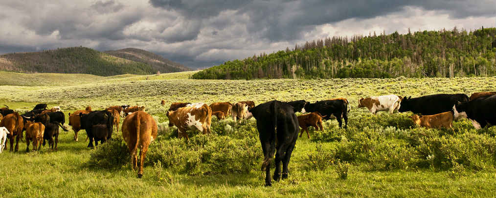 A picture of cows in sagebrush in Colorado's western slope