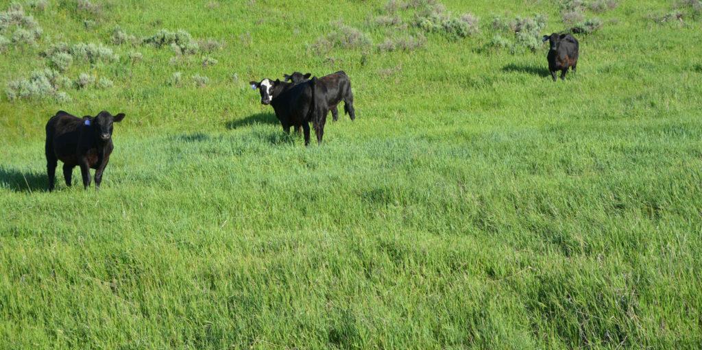 Cattle along road side are alert
