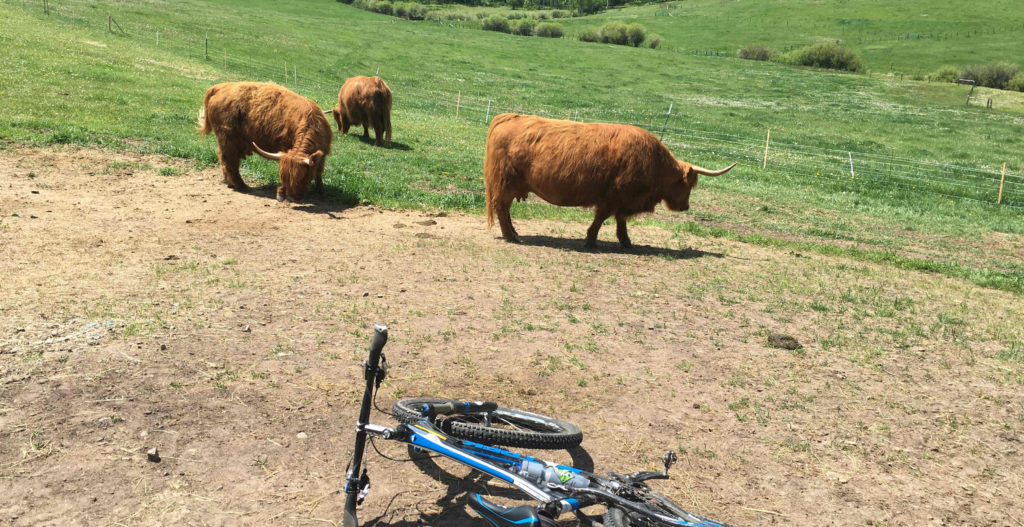 Scottish Highlander cattle and mountain bike