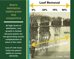 Infographic showing how defoliation impacts root growth. High stocking rates can inhibit or stock root growth in grasses.